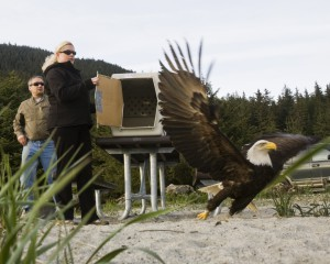 Kathy Benner and husband Tim Benner release a Bald Eagle at Eagle Beach on May 14, 2010, in Juneau, Alaska after having rehabilitated it at their home.