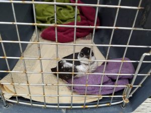 Kennel_murrelet