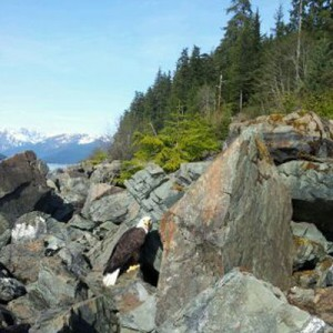 Photo courtesy of Juneau Raptor Center